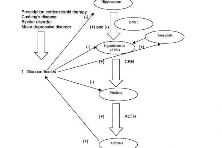Diagrammatic representation of the interactions between hippocampus, amygdala, glucocorticoids and hypothalamo-pitutaryadrenal axis.