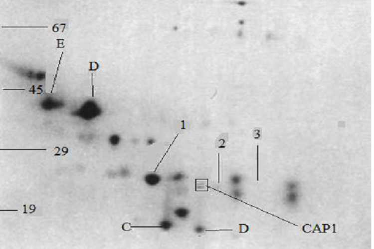 Plate (1) 2D SDS PAGE protein separation from the corpus epididymis fluid, Ofthe rats dietary fed on Aflatoxin B1, from the proteins shown, 1, with 2 slightly shown,There is the CAP1 protein which is in a box approximately 25kda from the rats under dietary exposure to Aflatoxin B1